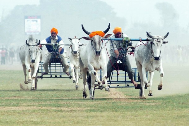 Indian villagers compete in a bullock cart race during the Kila Raipur Sports festival, also known as the Rural Olympics in Ludhiana, 03 February 2007.  First taking place in 1933 the Kila Raipur Sports Festival, or Rural Olympics as it is popularly known, takes place over a three day period during which competitors enter various rural sports events including equestrian events, bullock cart races and shows of strength.