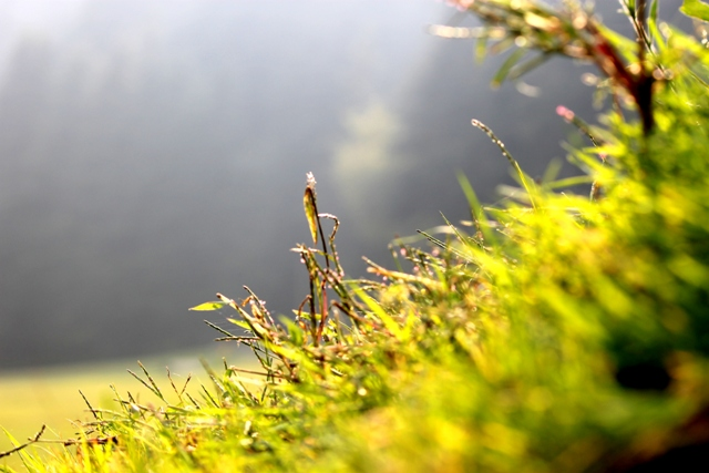 Morning sunrays piercing through the grass in Khajjiar. Photo - Amit Sengupta