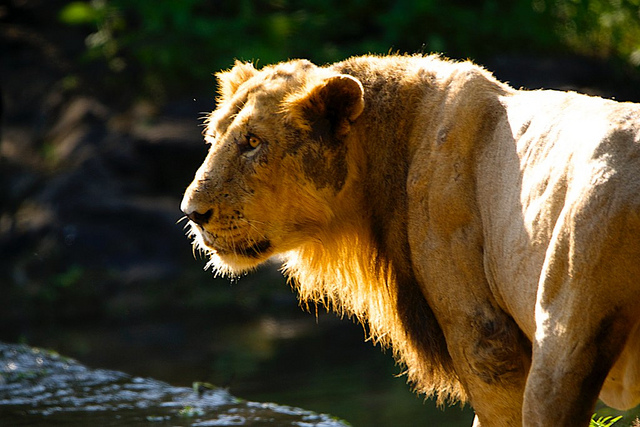 Gir – Abode of the Majestic Asiatic Lions
