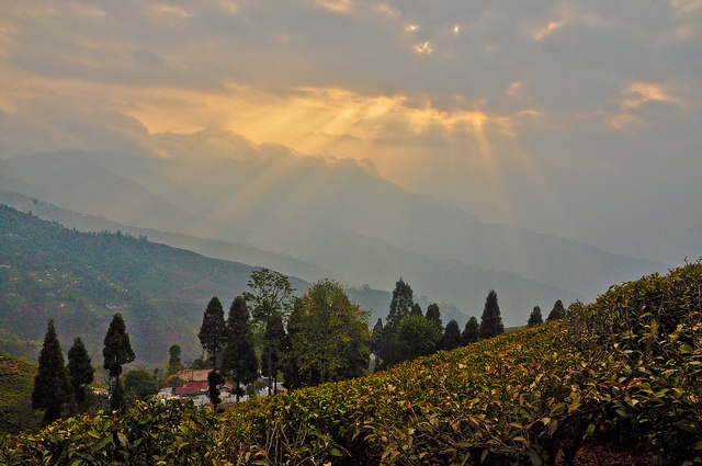 The beautiful Happy valley tea estate. Photograph by Vikram Singh