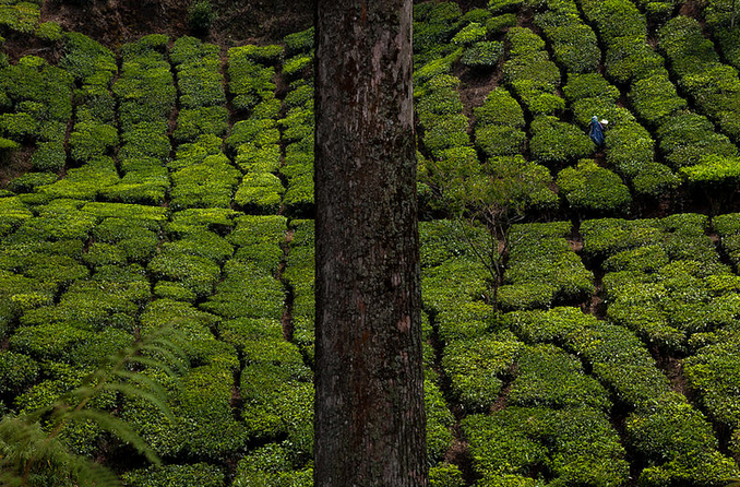 Tea gardens in Ooty. Photograph by Marji Lang