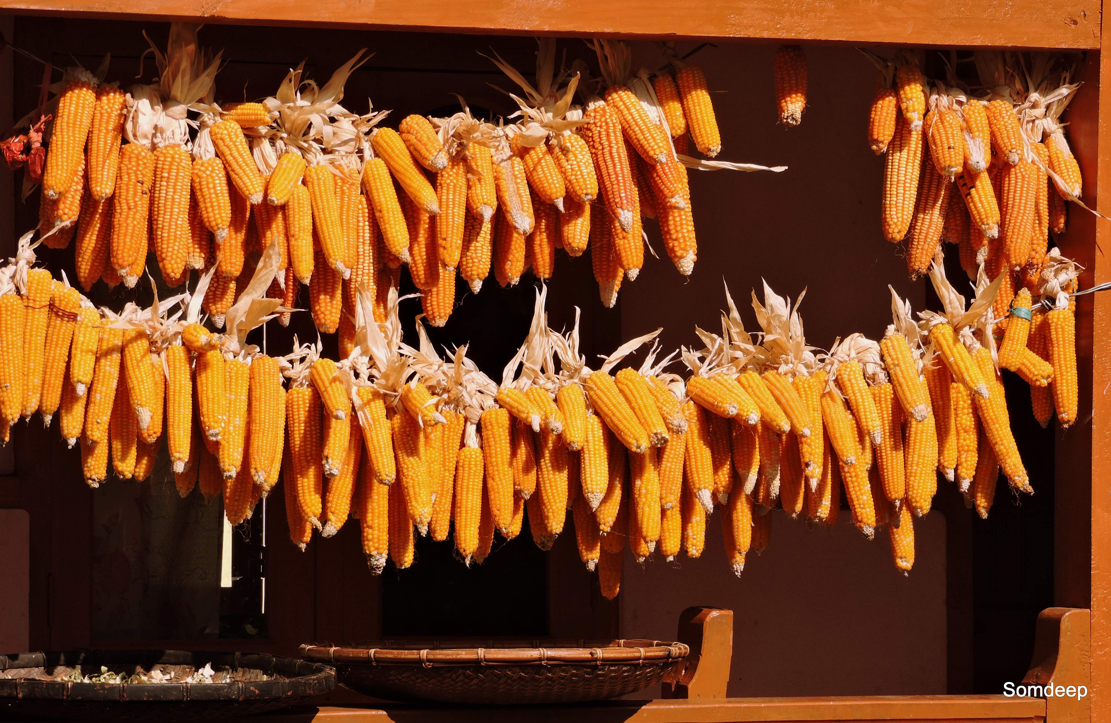 We struck gold! Corns drying at a village cottage.